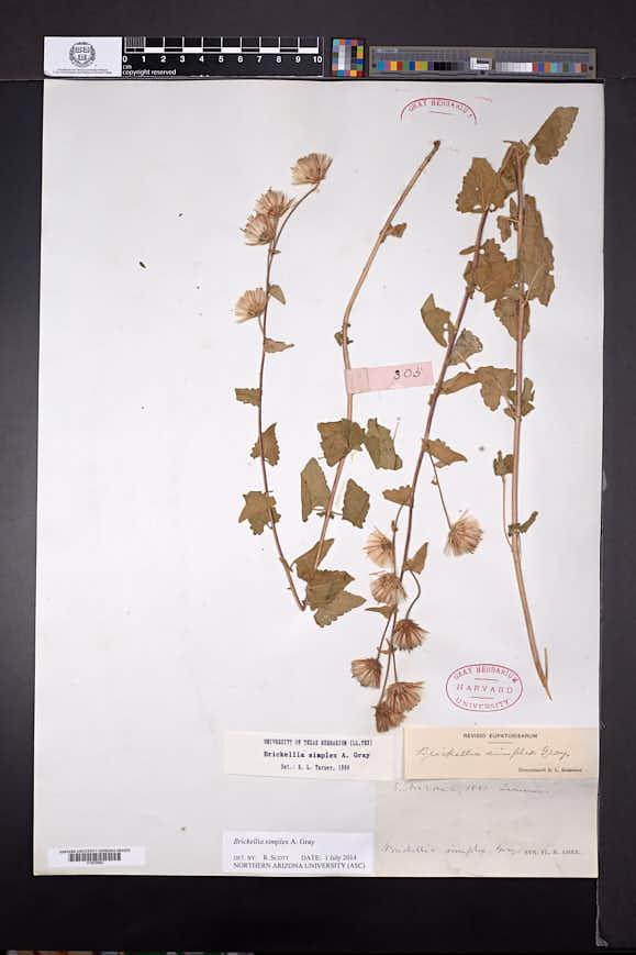 Brickellia simplex image
