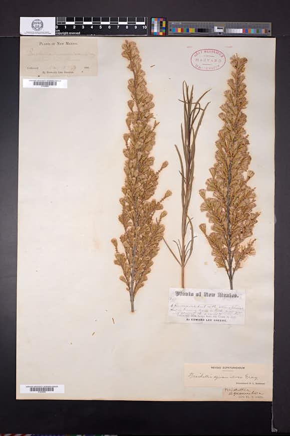 Asanthus squamulosus image
