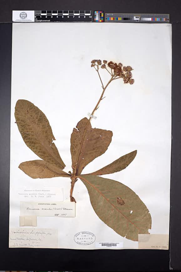 Vernonia acaulis image