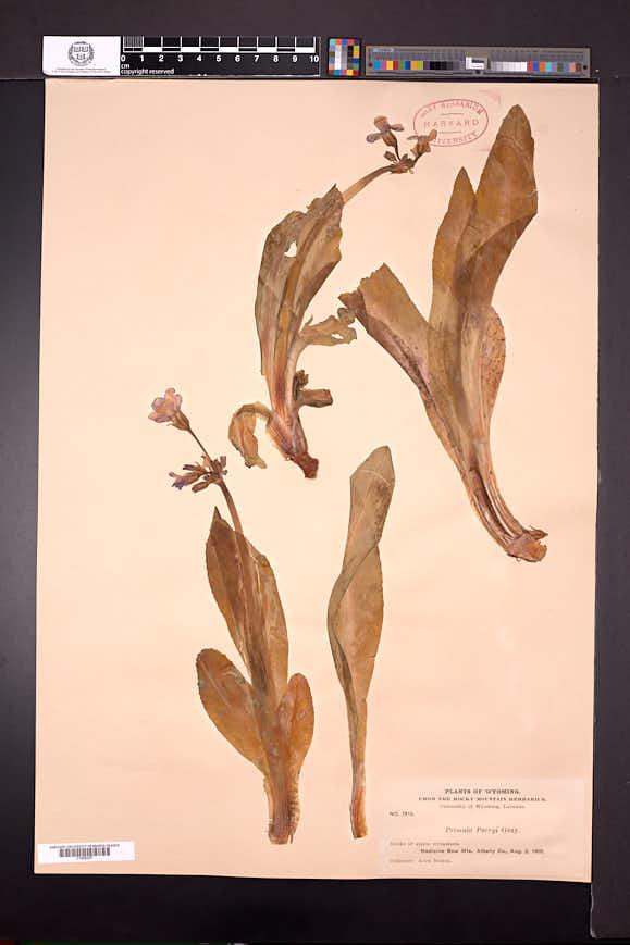 Primula parryi image