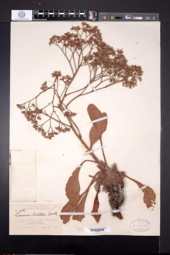 Limonium limbatum image