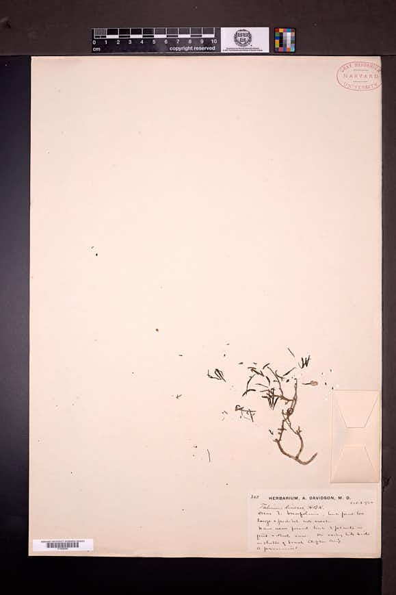 Image of Talinum lineare