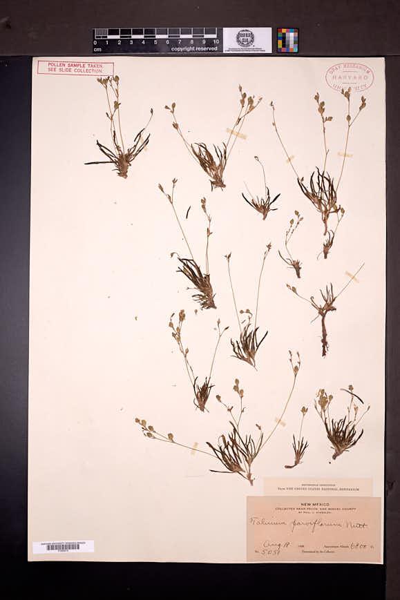 Phemeranthus parviflorus image