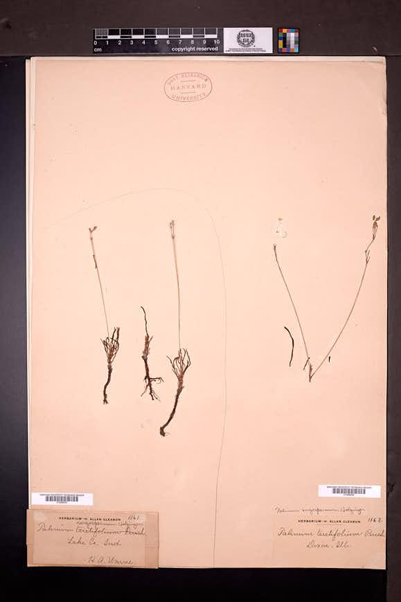 Image of Talinum rugospermum