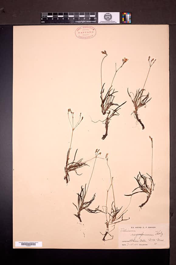 Talinum rugospermum image