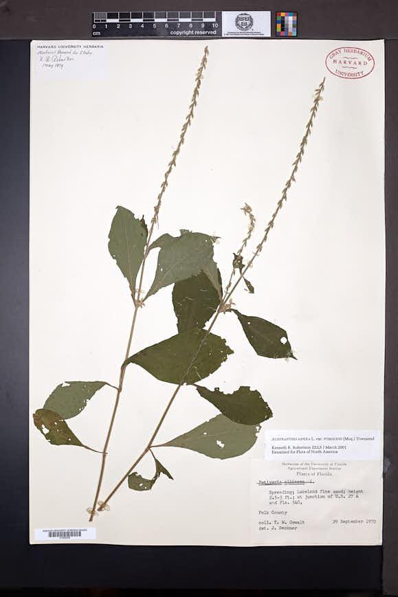 Achyranthes aspera image