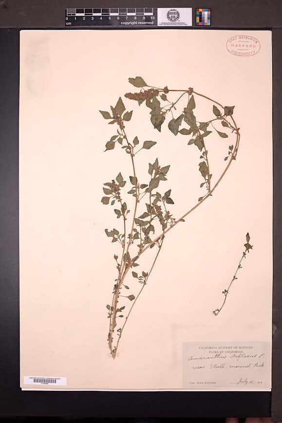 Amaranthus deflexus image
