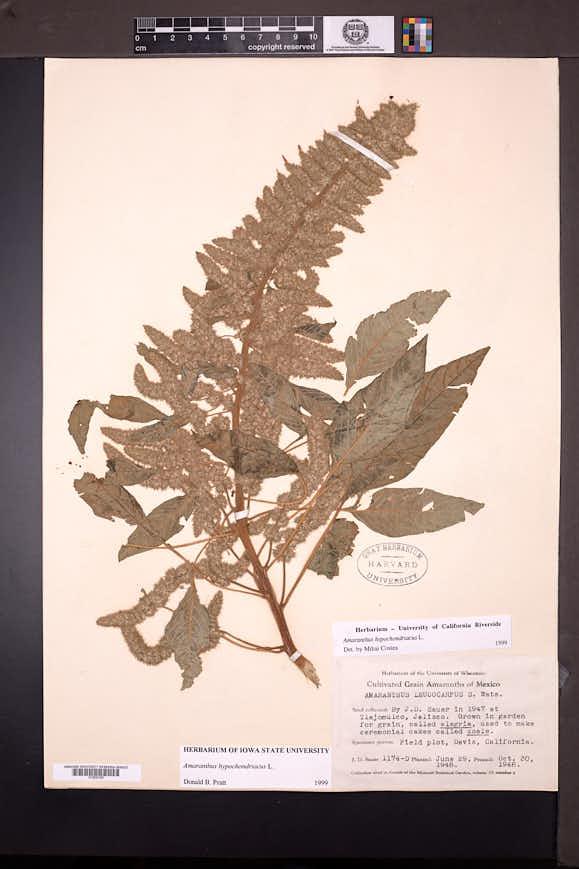 Amaranthus hypochondriacus image