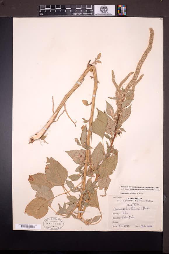 Amaranthus palmeri image
