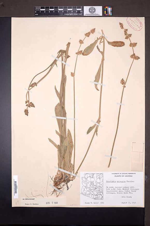 Froelichia arizonica image