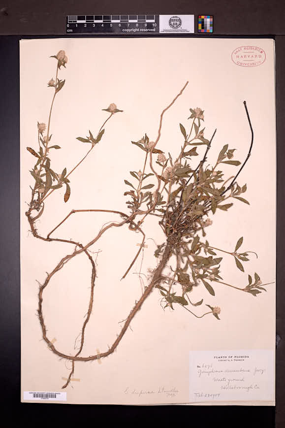Gomphrena decumbens image