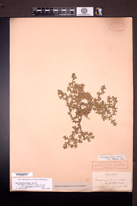 Guilleminea densa var. aggregata image