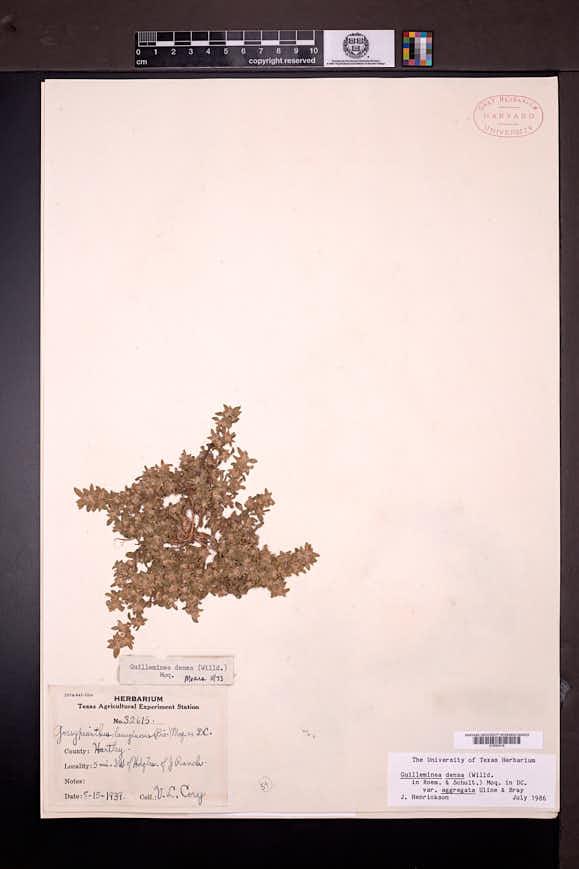 Guilleminea densa image