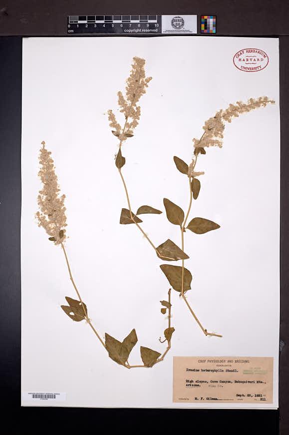 Iresine heterophylla image