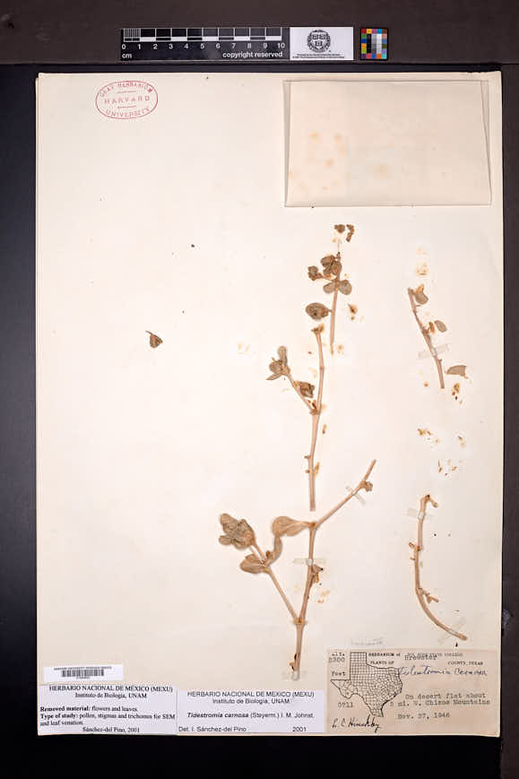Tidestromia carnosa image