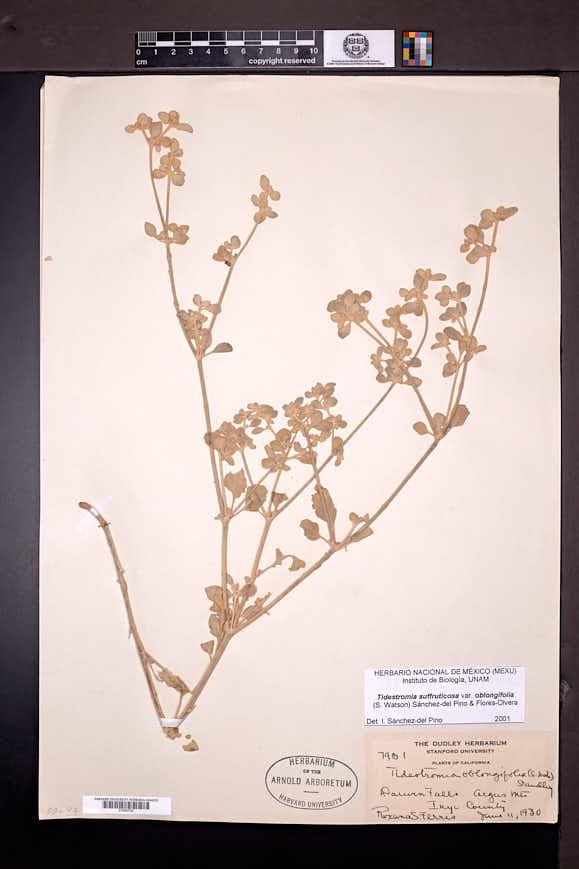 Tidestromia suffruticosa var. oblongifolia image