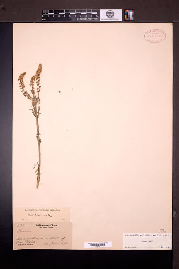 Reseda alba image