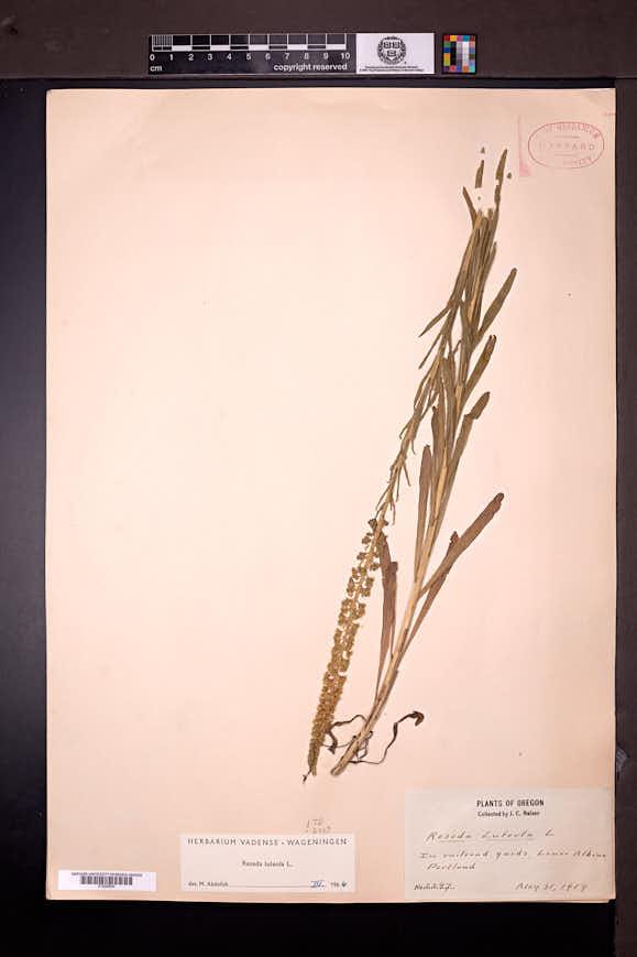 Reseda luteola image