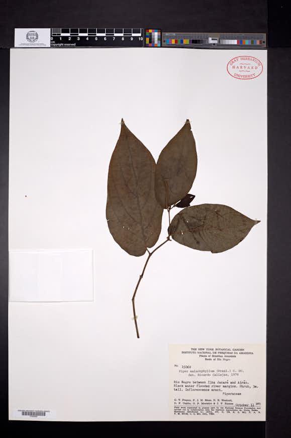 Piper manabinum image