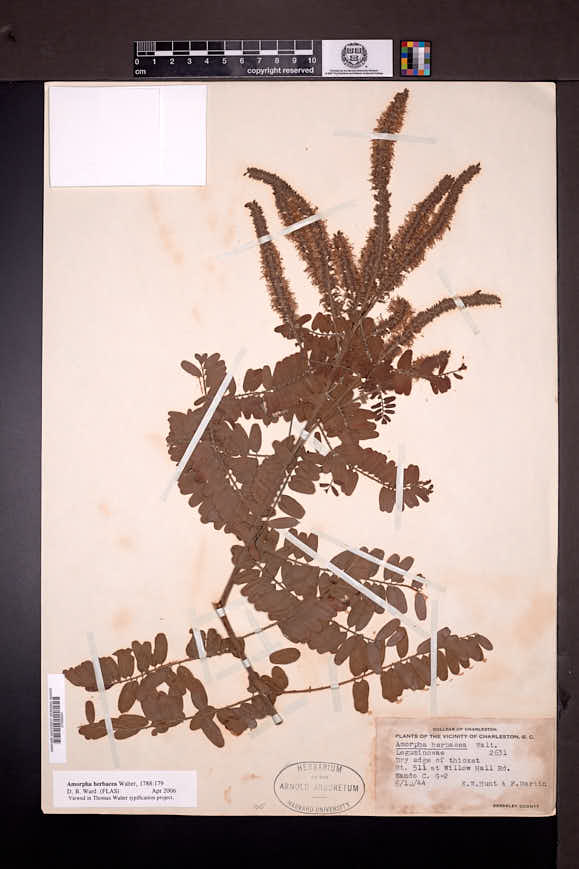 Amorpha herbacea image