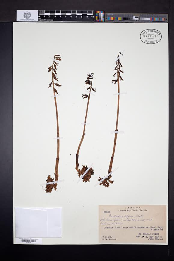 Corallorhiza trifida image