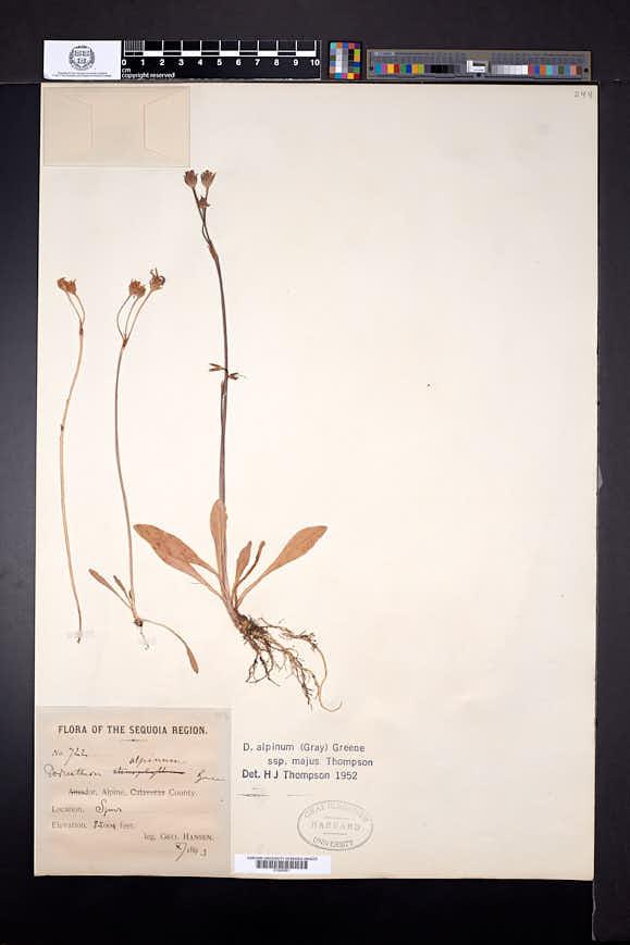 Dodecatheon alpinum image