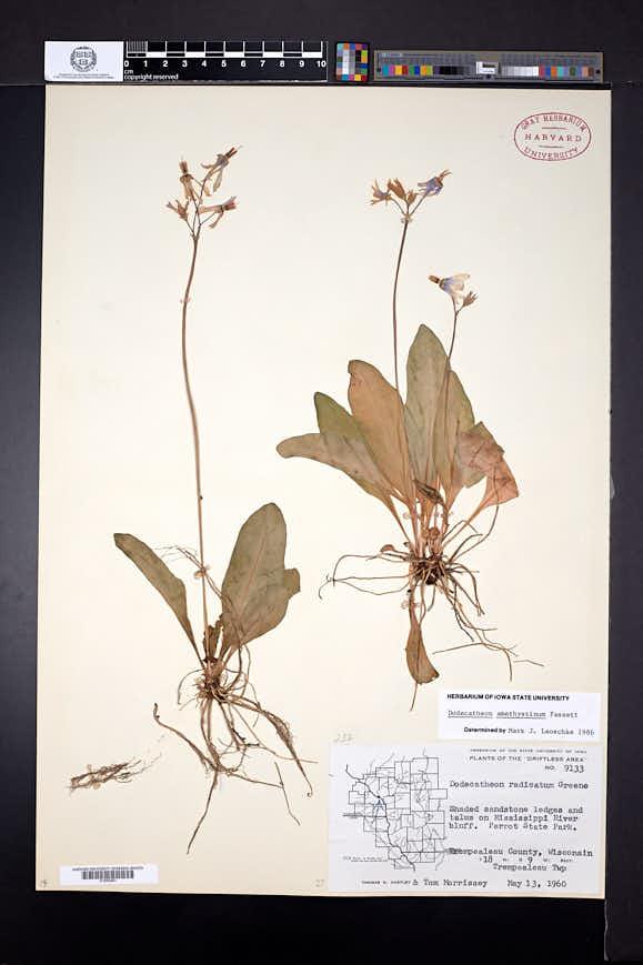 Dodecatheon amethystinum image