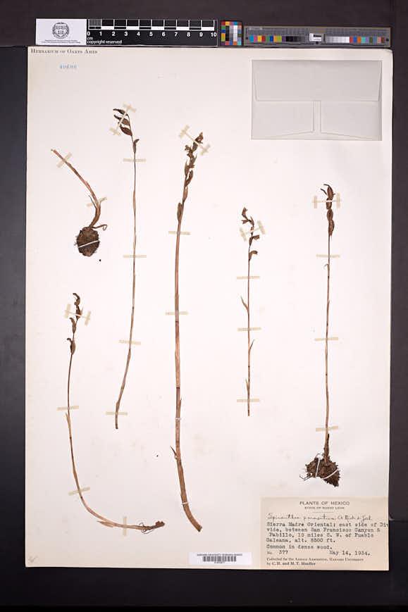 Spiranthes parasitica image