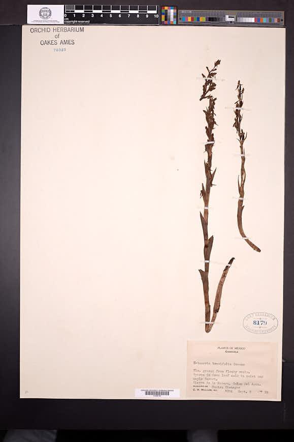 Platanthera brevifolia image