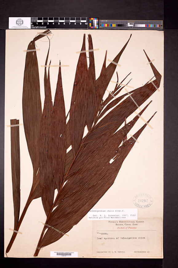 Selenipedium chica image