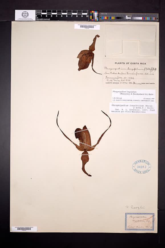 Phragmipedium longifolium image