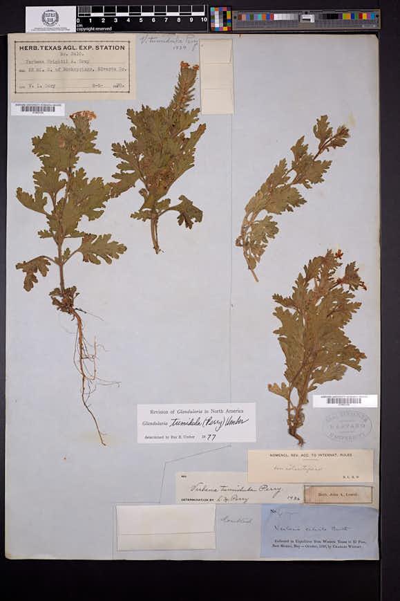Image of Glandularia tumidula