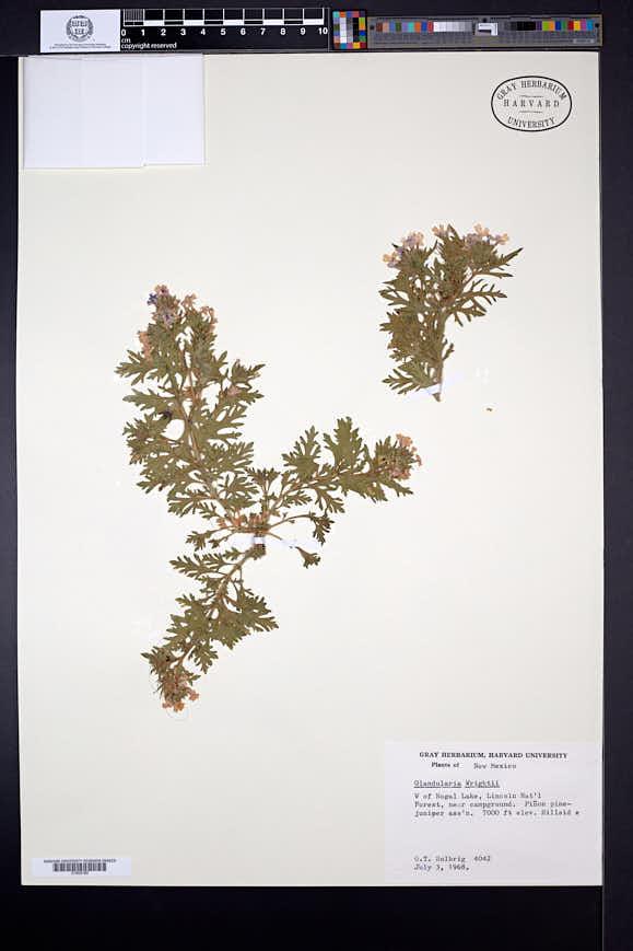 Glandularia wrightii image