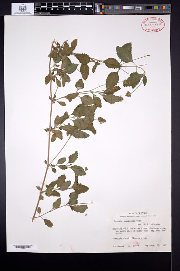 Lantana achyranthifolia image