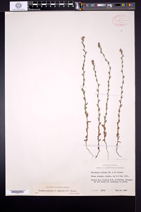 Triodanis perfoliata var. biflora image