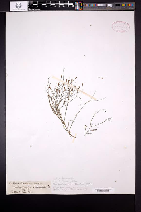 Wahlenbergia tuberosa image
