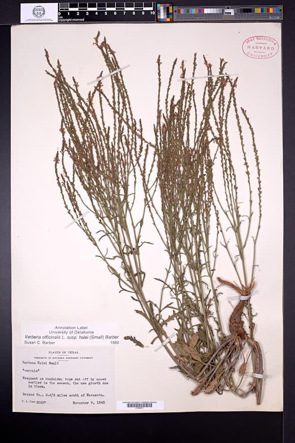 Verbena officinalis image