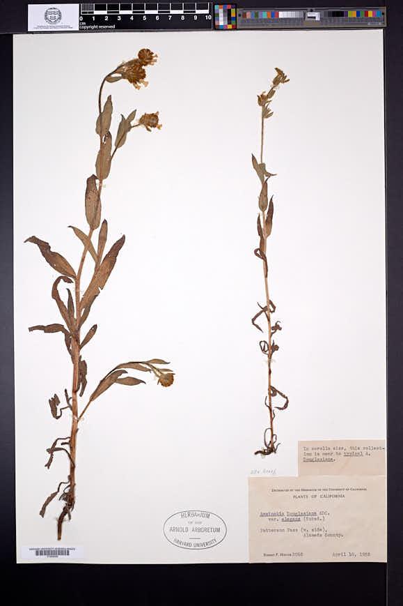 Image of Amsinckia gloriosa