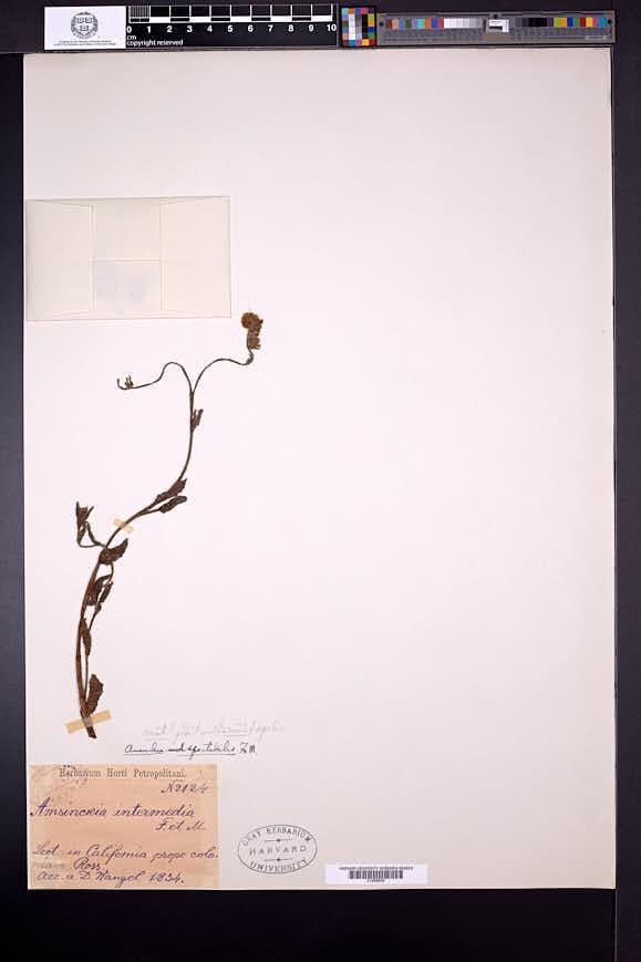 Amsinckia spectabilis image