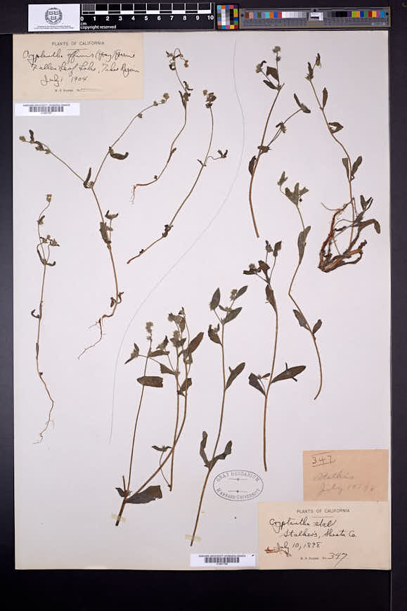 Cryptantha affinis image