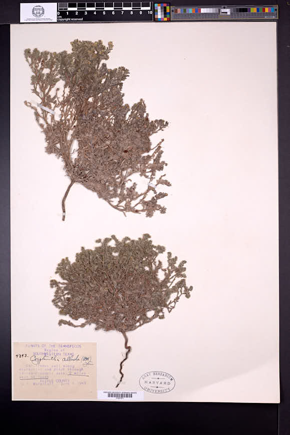 Cryptantha albida image