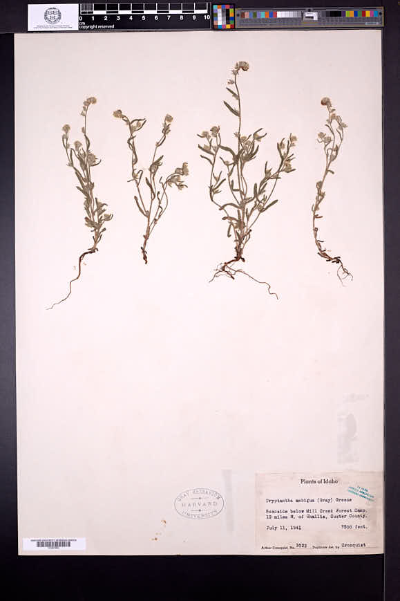 Cryptantha ambigua image