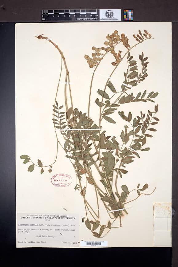 Hedysarum boreale image