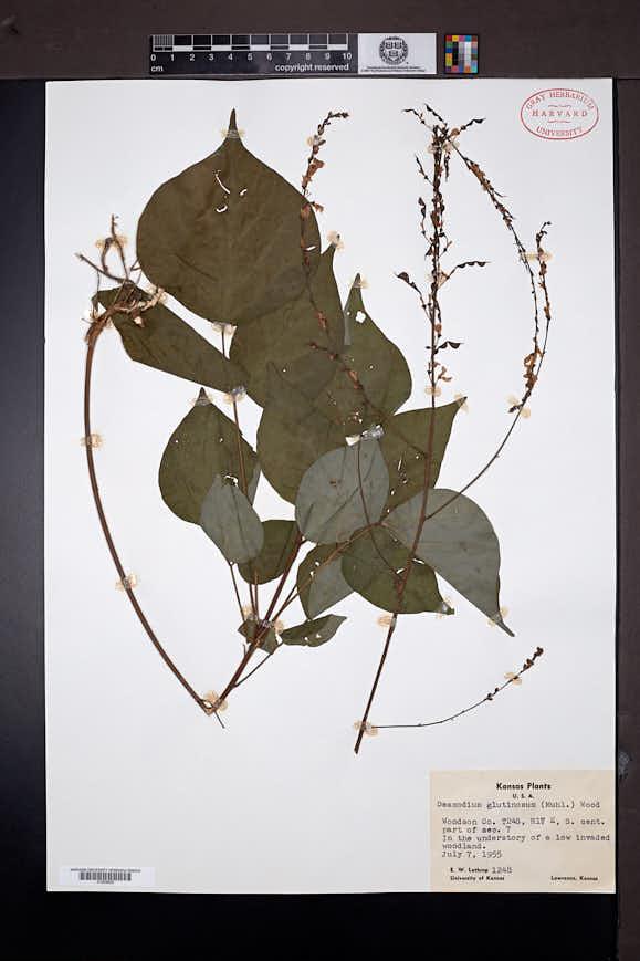 Hylodesmum glutinosum image