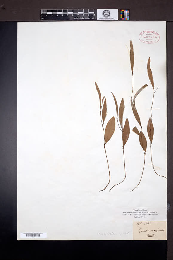 Galactia heterophylla image