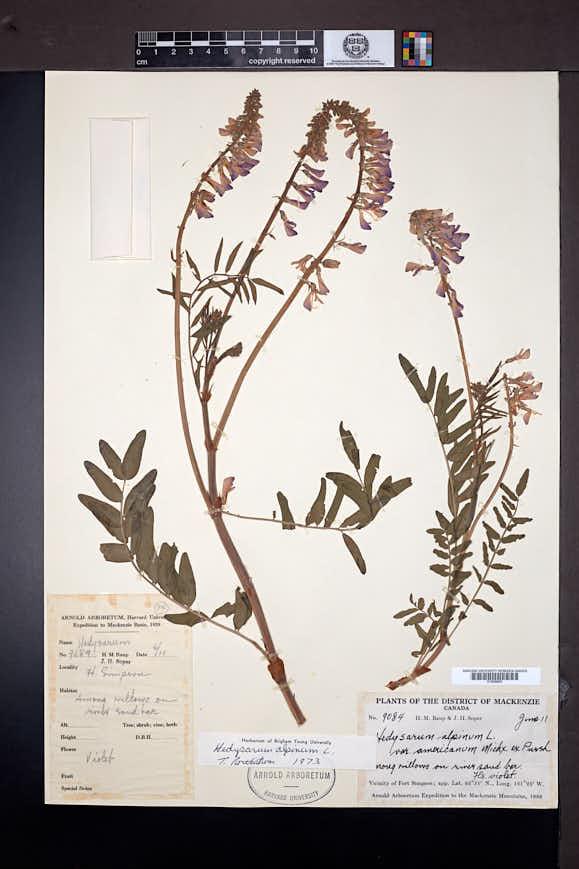 Hedysarum alpinum image