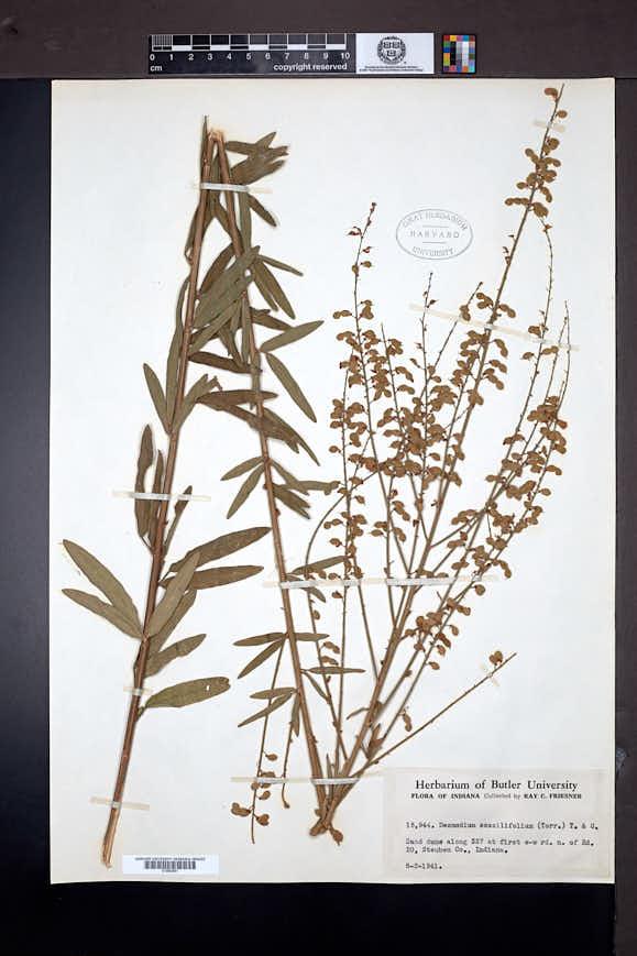 Desmodium sessilifolium image