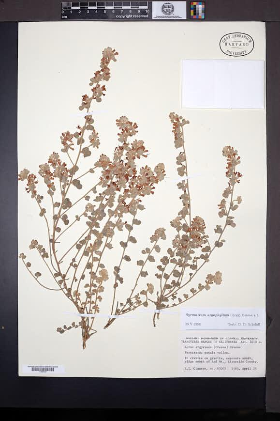 Image of Acmispon argophyllus