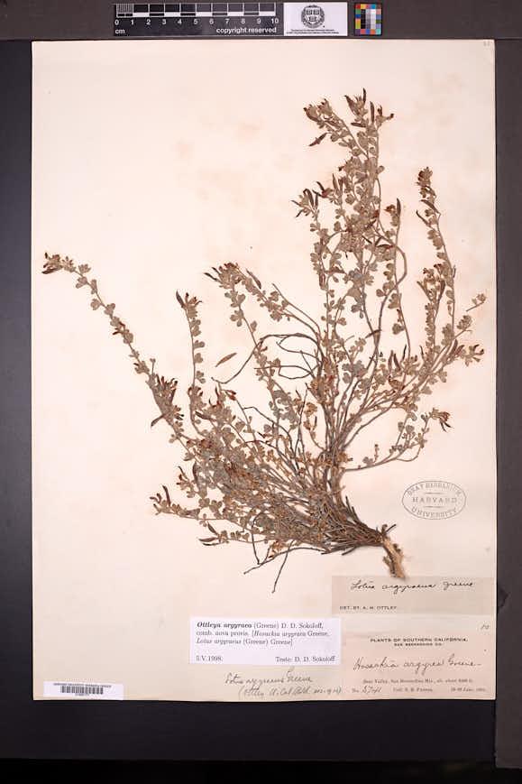Image of Acmispon argyraeus