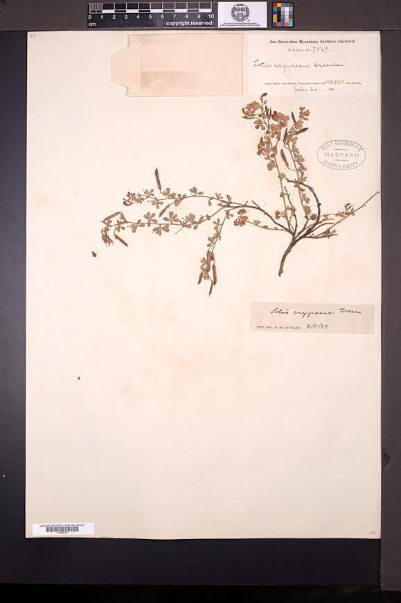 Acmispon argyraeus image